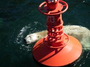 The overheated polar bear...