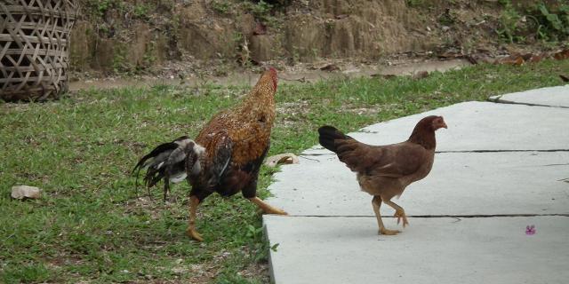 Chicken Crossing!